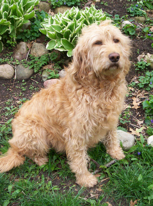 About Labradoodles Dogwood Trail Pups